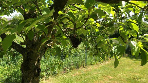 Bienenherz im Apfelbaum